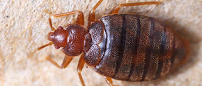 Bed Bug Control Morphett Vale