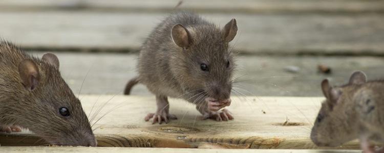 Rodent Control Morphett Vale